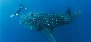 Diving in The Maldives with Indian Ocean Charters